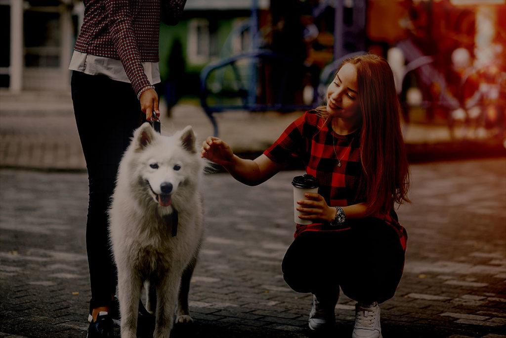 夜のお散歩はマナー違反?知らない人に触られることは、犬にとってストレスになる場合も。サモエド犬 Samoyed