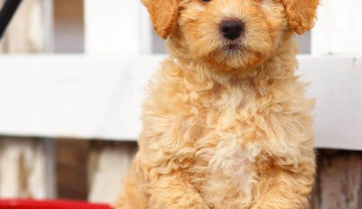 【お客様の声】H 様 トイプードル Toy Poodle 1歳3ヵ月 オス♂