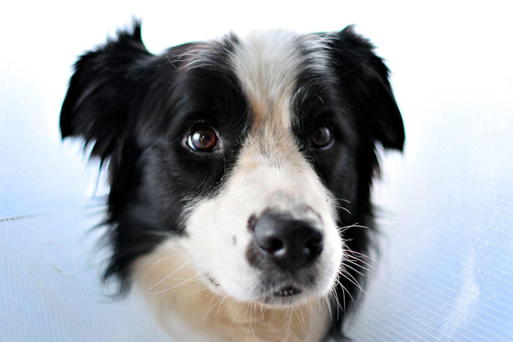 愛犬にトイレを覚えてもらう方法 ボーダーコリーBorder Collie