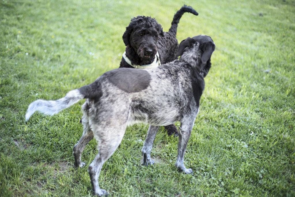 お散歩の時、他犬と触れ合うポーチュギーズウォータードッグ(Portuguese Water Dog)