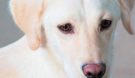 【お客様の声】M 様 ラブラドール・レトリーバー  Labrador Retriever 6ヵ月 オス♂