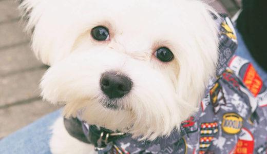 【お客様の声】S 様 マルチーズ  Maltese 4歳5ヵ月 オス♂