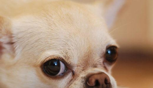 【お客様の声】T様 チワワ Chihuahua 2歳10ヵ月 メス♀