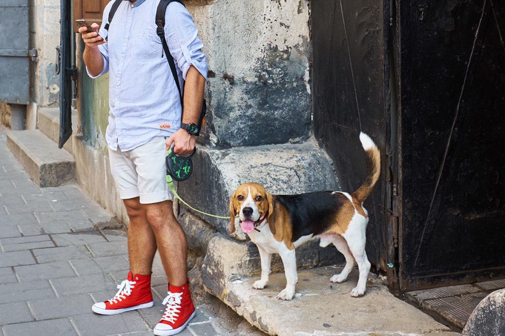 街の中をお散歩する飼い主 Beagle ビーグル犬の初めてのお散歩