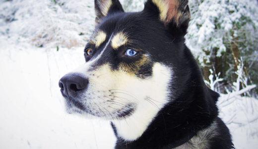 【お客様の声】K様 シベリアンハスキー Siberian husky 4ヵ月 ♀