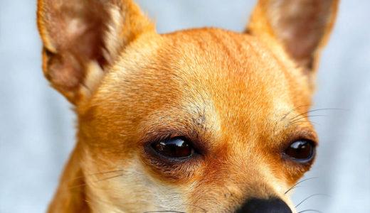 【お客様の声】N 様 チワワ Chihuahua 11歳 オス♂