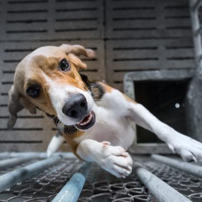 ゲージに入れられたビーグル犬 beagle