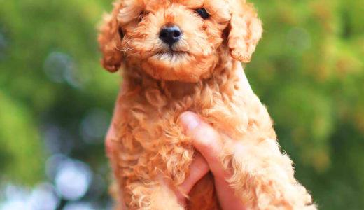 【お客様の声】I 様 トイプードル  Toy Poodle 7ヵ月 オス♂