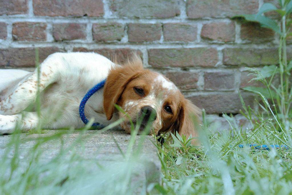 ブリタニースパニエルBrittany新しい環境や寂しいお留守番、運動不足になってしまってもストレスを感じて横になる小型犬