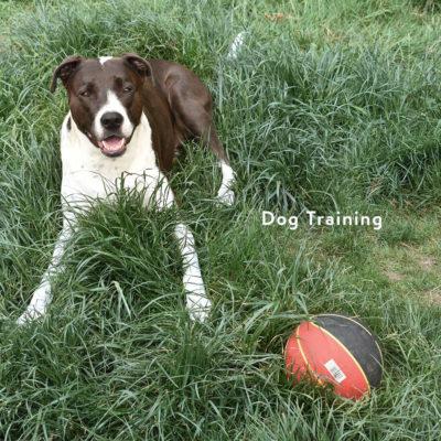 ドッグトレーニング中の犬 犬のしつけ 公園