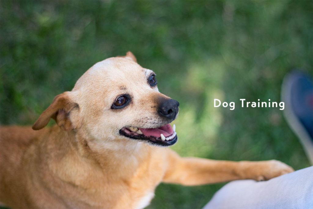飼い主を見つめる「待て」犬のしつけ中のチワワ犬、ドッグトレーニングをきちんと受けてからのお散歩デビュー Chihuahua