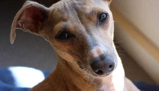 【お客様の声】Y 様 イタリアン・グレーハウンド Italian Greyhound 4ヵ月 メス♀