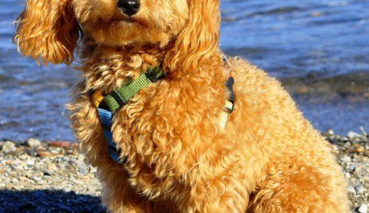 【お客様の声】K 様 トイプードル / Toy Poodle 6歳3ヵ月 メス♀