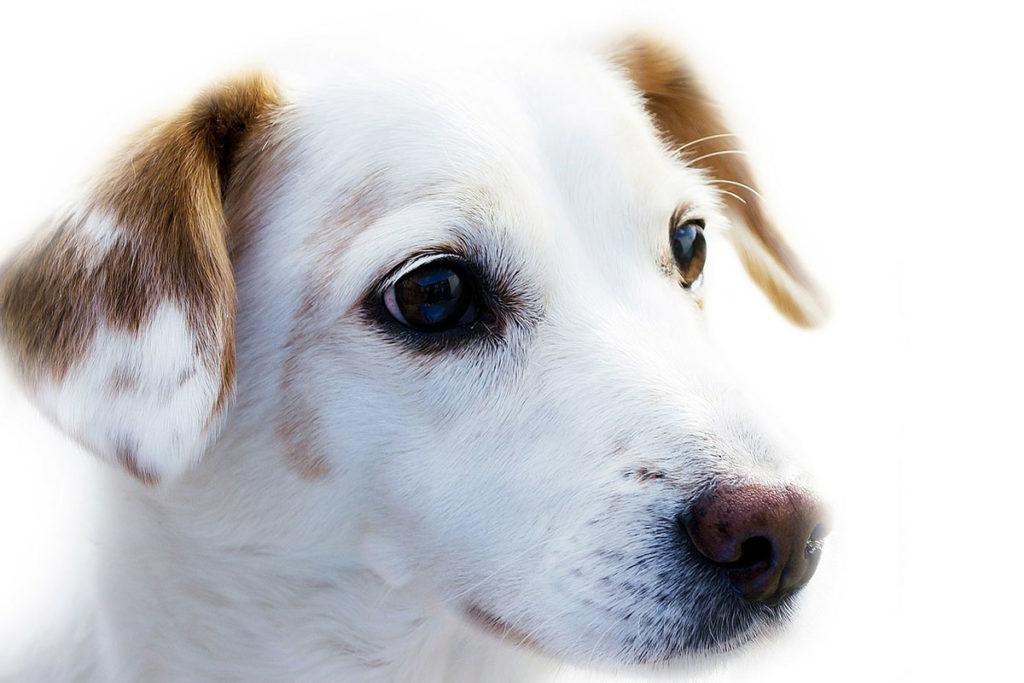 犬を飼うなら雄?雌?おすすめ犬大人気のボルゾイBorzoi