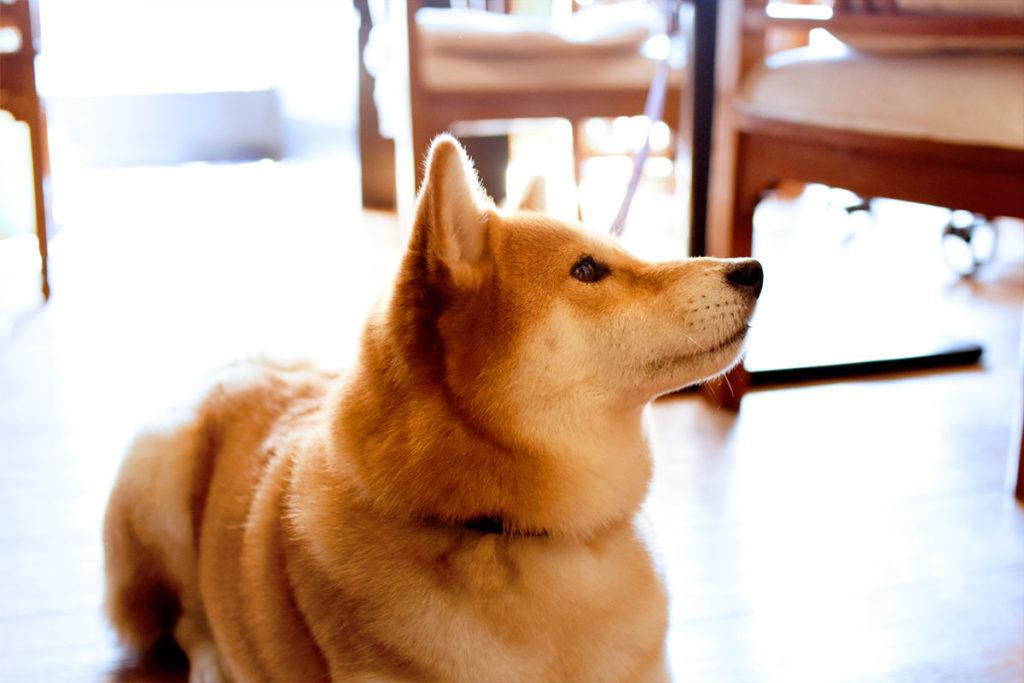 shibaken 柴犬
