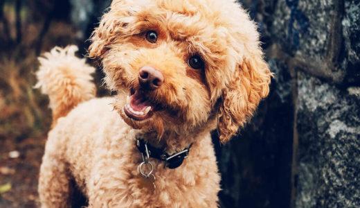 【お客様の声】I様 トイプードルToy-Poodle 6歳4ヶ月  メス♀
