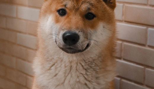 【お客様の声】M 様 柴犬 Shiba inu 10ヵ月 オス♂