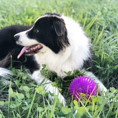 犬用ゴム製おもちゃボールでご機嫌なボダーコリーBorder Collie