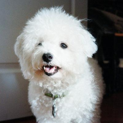 子犬からはじまるドッグトレーニング犬のしつけ ビション・フリーゼ Bichon Frise