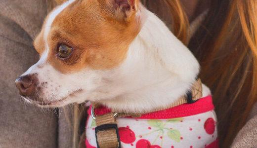 【お客様の声】N様 チワワ Chihuahua 7歳9ヶ月 ♀