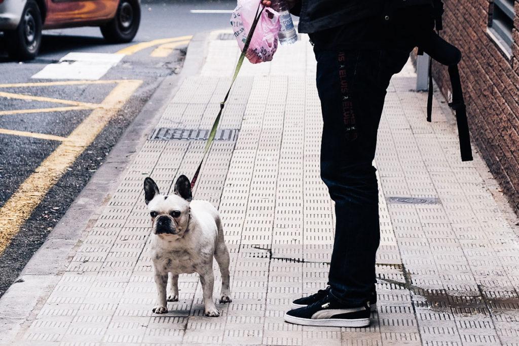 街の中をお散歩するフレンチ・ブルドッグ French Bulldog