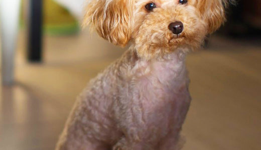【お客様の声】K 様 トイプードル / Toy Poodle 5ヵ月 メス ♀