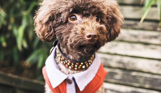 【お客様の声】O様 トイプードル Toy Poodle 4歳1ヵ月 オス