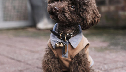 【お客様の声】S 様 トイプードル Toy Poodle 1歳2ヵ月 オス♂