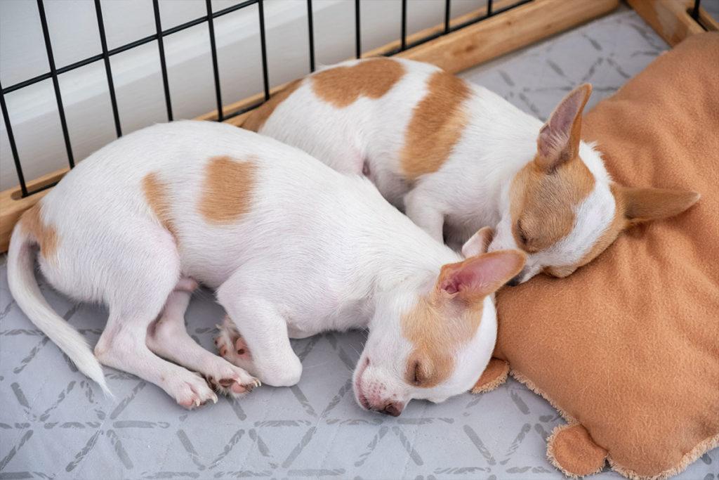 初心者、初めての犬、子犬購入方法についてのご相談は東京の世田谷区と文京区のプロドッグトレーナー24時間常駐の犬のしつけハグまで two white brown puppy sleeping pillow