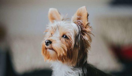 動く宝石!ヨークシャテリアの魅力と小型の犬の散歩は室内で大丈夫?