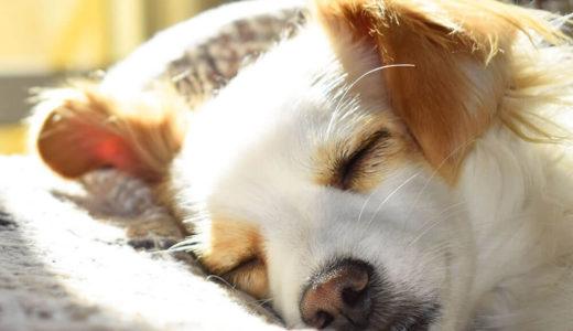 犬のいびきの理由とは?対処法と予防法