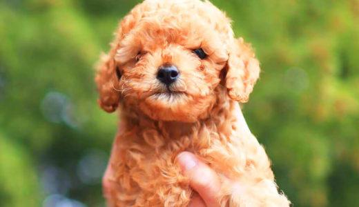小型犬の子犬は要注意!犬の低血糖症とは?