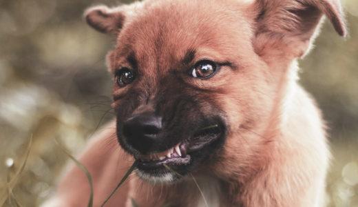 子犬のじゃれ噛み、 噛み癖の治し方。感情的になると逆効果