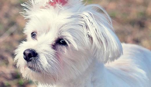 犬のヒートの期間や症状は?何歳まであるの?