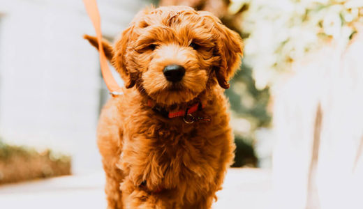 お散歩中に引っ張る犬の対処方法~1.引っ張る理由