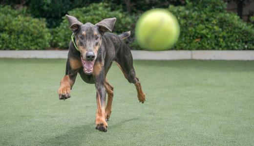 犬はなぜ餌やおもちゃを隠すの?飼い主へのアピール?理由と対処方法