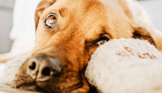 知っておきたい!犬の老化のサインとは?