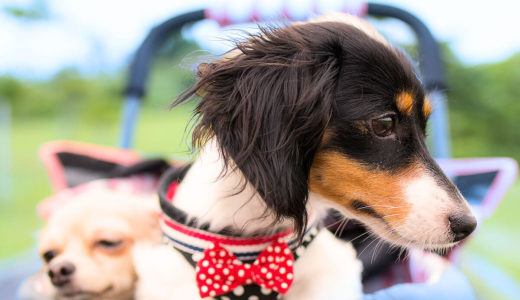 健康な犬がペットカートを利用する理由に対する疑問