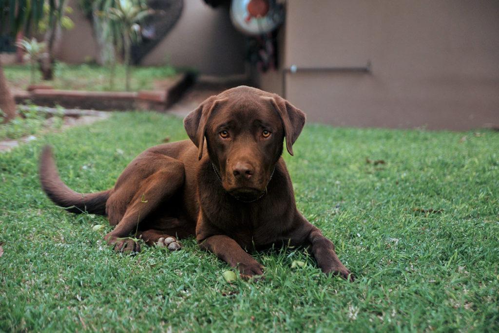 犬にかかる費用。お庭でのんびりするラブラドール・レトリバーLabrador