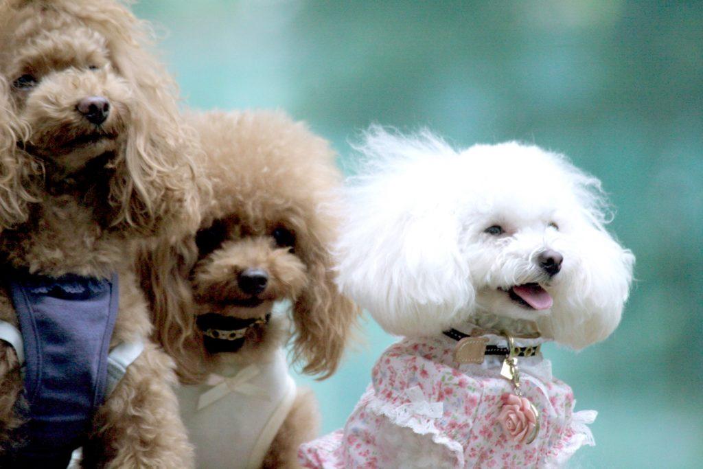 ケガの予防 犬のトリミングはいつから?世田谷区と文京区で愛犬と一緒に受講するドッグトレーニングから、プロトレーナーによるトイレのしつけ、マナー他、ご自宅までお伺いする出張ドッグトレーニングサービス、お散歩代行、LINE無料相談、ドッグホテル、ドッグ幼稚園、短期間お預かりトレーニング、初回カウンセリングご相談後オリジナルメニューをお作りいたします。犬のしつけハグ