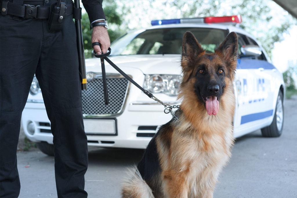 警察犬のお仕事 ジャーマンシェパード German Shepherd Dog