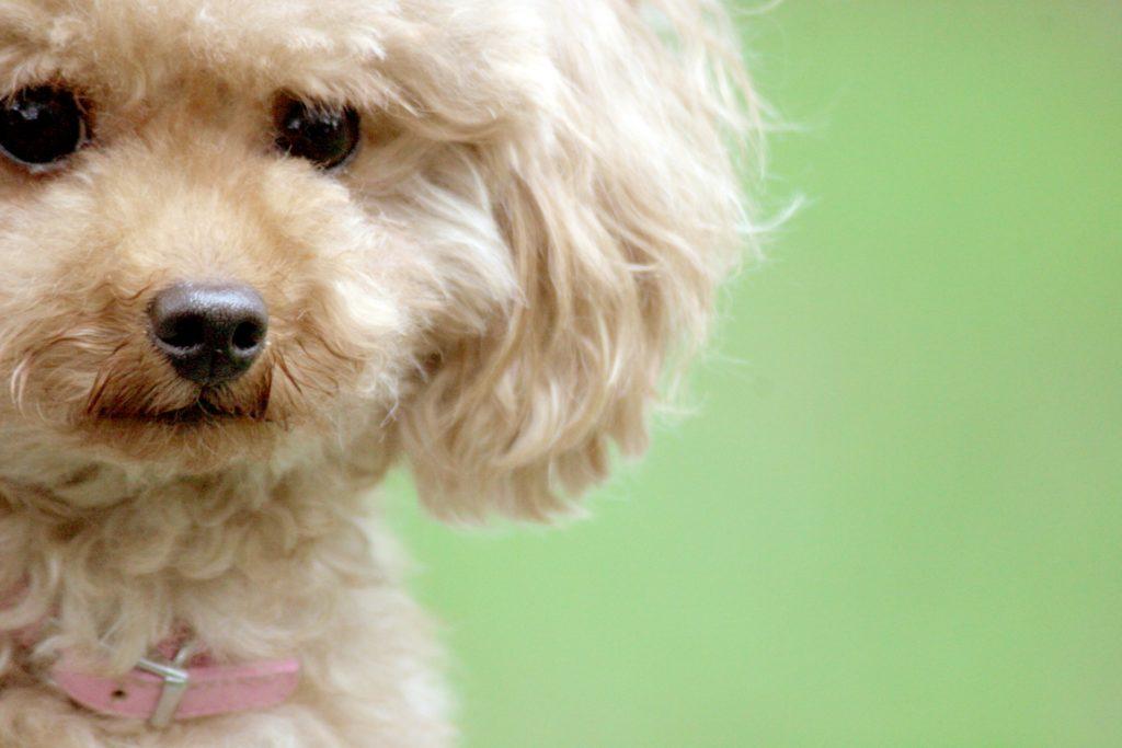 犬のトリミングはいつから?世田谷区と文京区で愛犬と一緒に受講するドッグトレーニングから、プロトレーナーによるトイレのしつけ、マナー他、ご自宅までお伺いする出張ドッグトレーニングサービス、お散歩代行、LINE無料相談、ドッグホテル、ドッグ幼稚園、短期間お預かりトレーニング、初回カウンセリングご相談後オリジナルメニューをお作りいたします。犬のしつけハグ