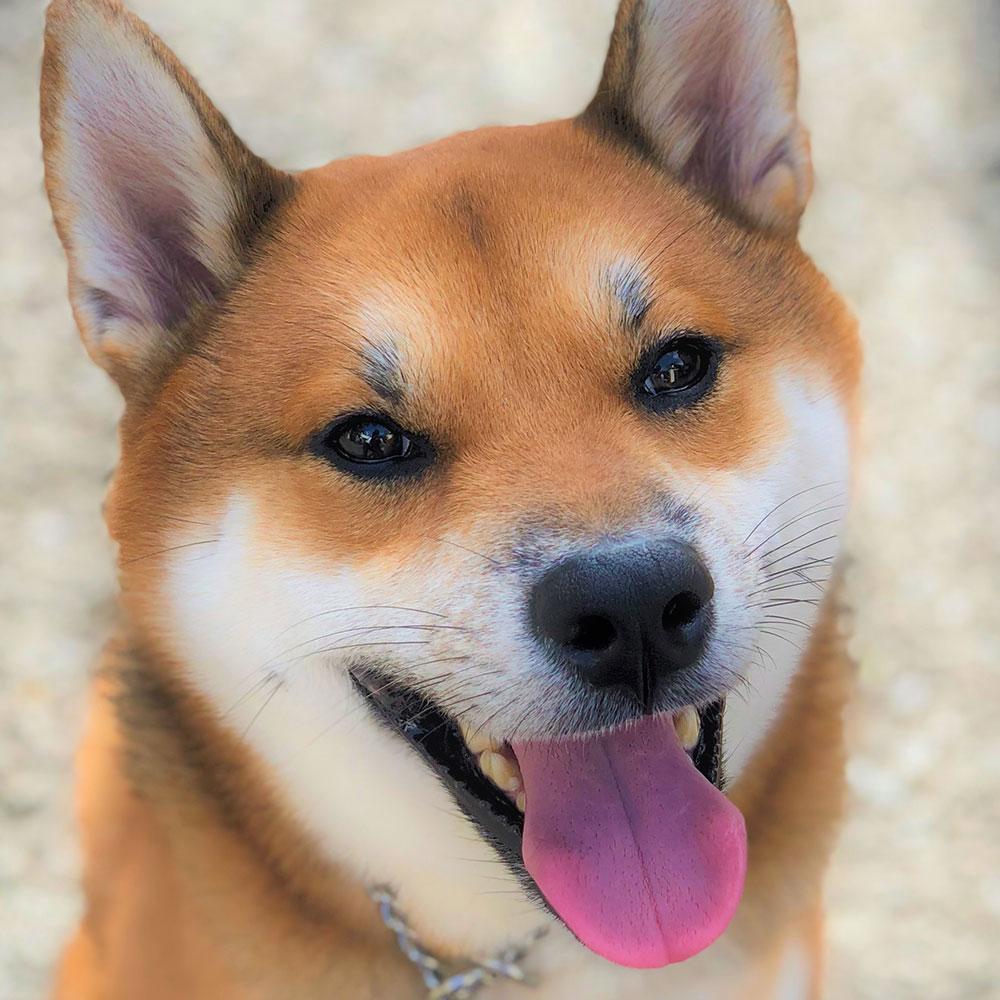 ドッグトレーニング施設・ホテル文京店、世田谷店の「犬のしつけハグ」のサービスを受けたお客様の声の柴犬