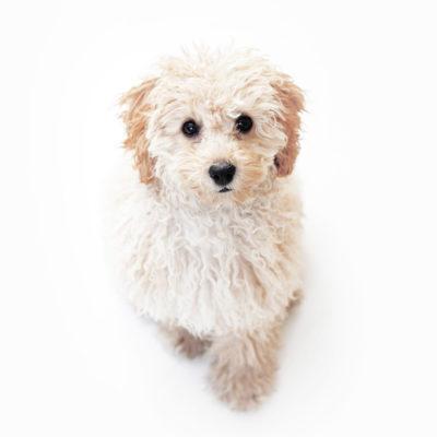 一人暮らしにおすすめの犬種トイプードル