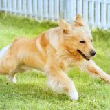 東京の世田谷区と文京区のプロドッグトレーナー24時間常駐の犬のしつけハグでトレーニング中のドッグランで走る犬