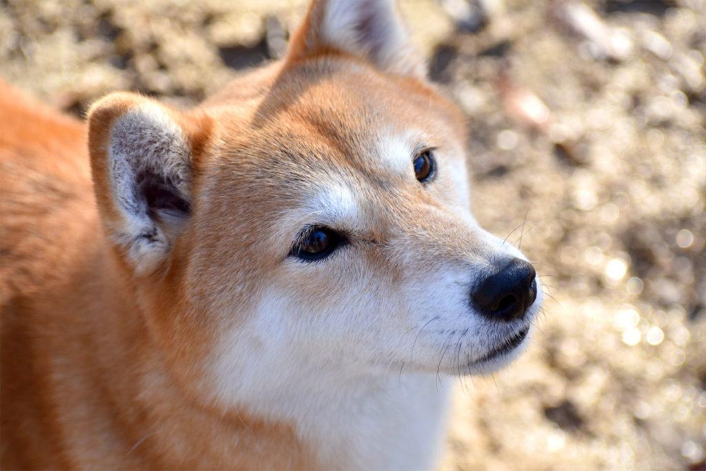 【日本犬が海外で人気!】レディー・ガガの愛犬は柴犬ザギトワ選手は秋田犬日本犬が愛される4つの理由