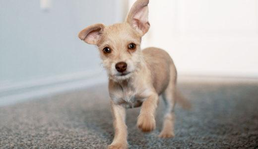 犬の知能は?どの犬種でも200ほどの言葉を覚えて理解できるようになります。