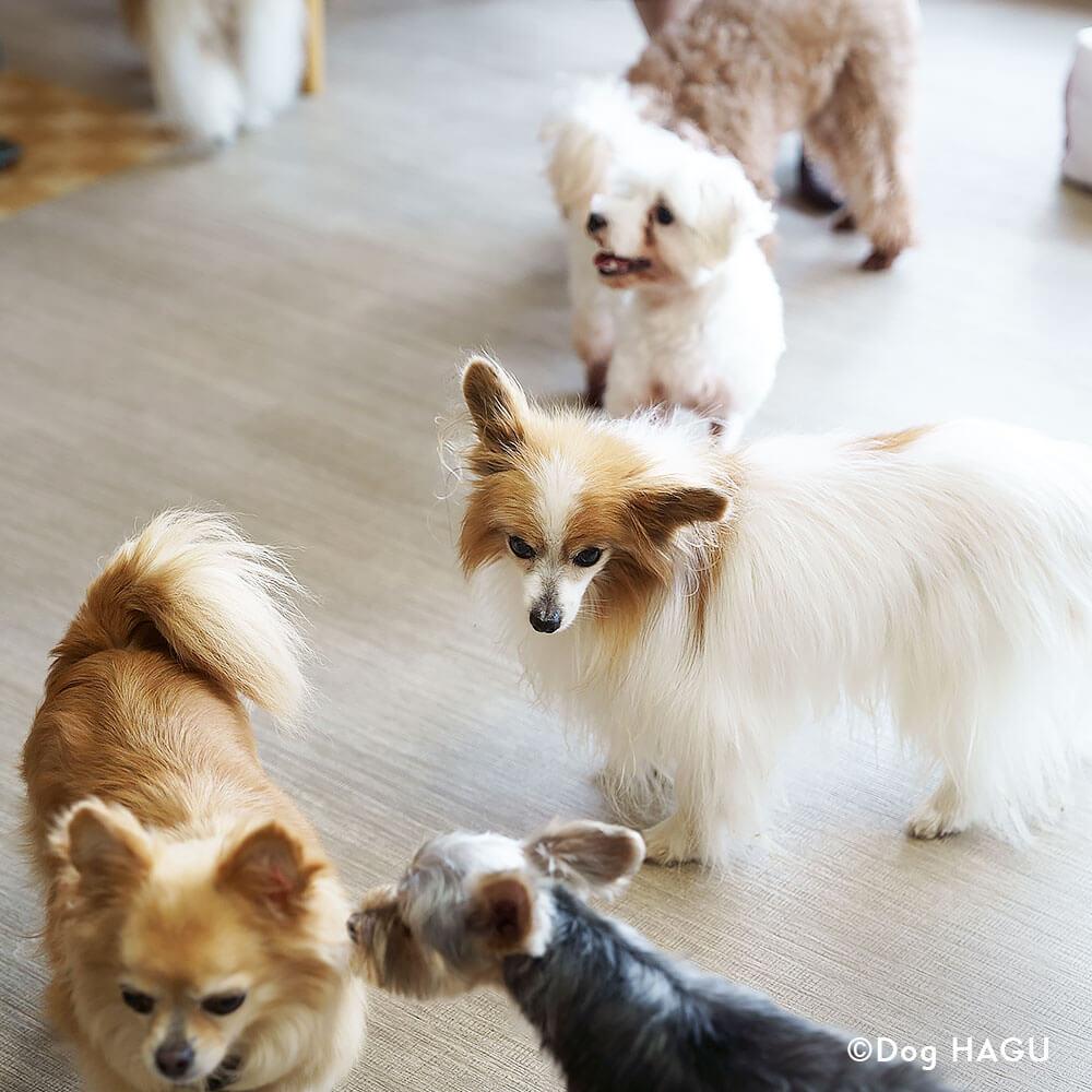 吠え、噛む癖、トイレトレーニングは世田谷と文京区にある犬のしつけハグのドッグホテル、他犬とのふれあい