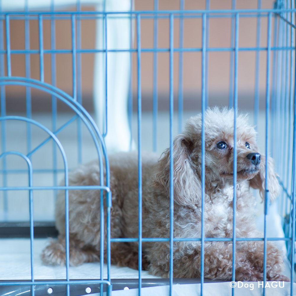 吠え、噛む癖、トイレトレーニングは世田谷と文京区にある犬のしつけハグのドッグホテルお留守番シーン