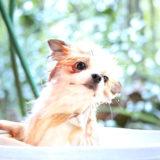 犬のお風呂・シャワー嫌いを治す方法